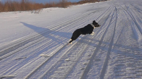 Dog running on the winter snow-covered road, Live Action
