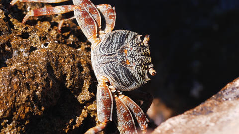 Beautiful crab walking on the rocks in the sea, crab resting on the rocks by the Live Action