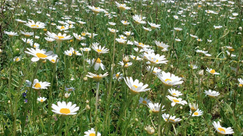 Moody Orange Spring daisy flowers rural outdoor meadow,nature wind motion plants Live Action