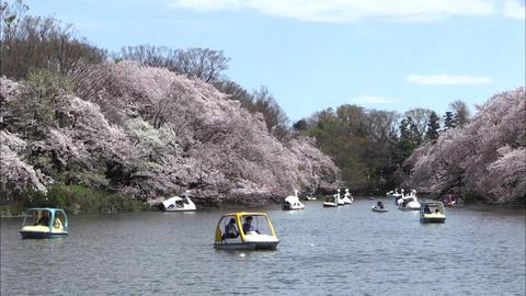 Cherry blossoms in Inokashira Park-01 Live Action