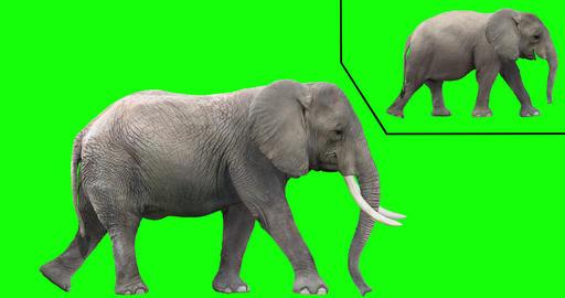 African Elephant Looping Gaits CG動画