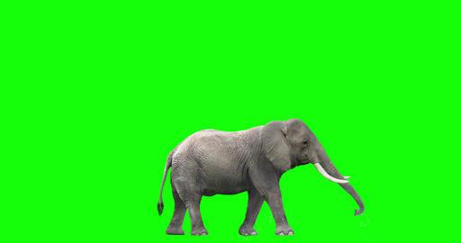 African Elephant Spraying Water CG動画