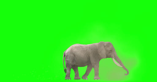 African Elephant Tossing Dirt Animation