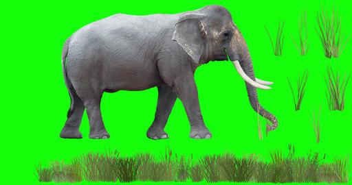 Asian Elephant Grazing CG動画