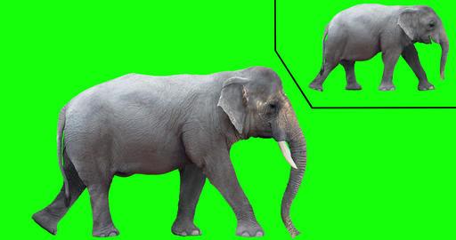 Asian Elephant Looping Gaits CG動画