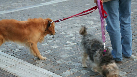 Man walking dogs on the leash in city street, taking care of pedigree pets Footage