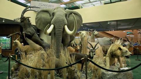 African wildlife museum P HD 7262 Footage