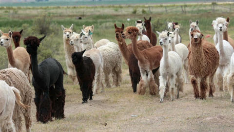 Alpaca animal herd in central Utah farm ranch HD 2612 Footage