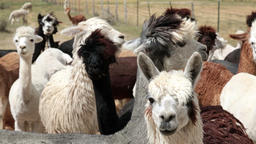 Alpaca herd close funny face HD 2624 Footage