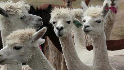 Alpaca livestock animal herd Utah farm ranch HD 2646 Footage