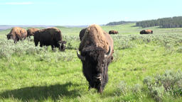 American Bison Buffalo sagebrush meadow Yellowstone 4K Footage