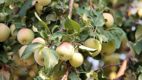 Apples on tree breeze P HD 2053 Footage