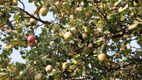 Apples red yellow on tree P HD 2058 Footage