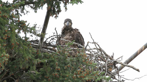 Baby Bald Eagle in nest P HD 1397 Footage