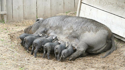 Baby pigs feeding on sow P HD 1094 Live Action