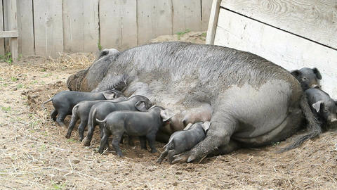 Baby pigs sucking P HD 1094 Live Action