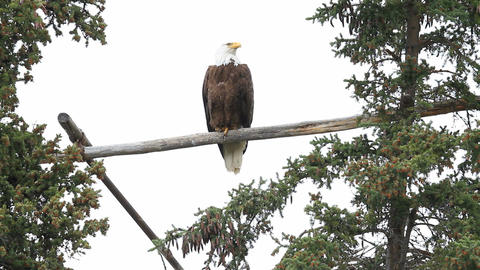 Bald Eagle high on perch P HD 1398 Live Action