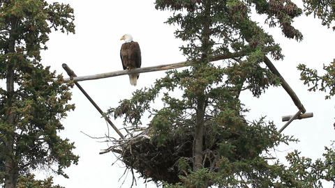 Bald Eagle on roost P HD 1391 Footage