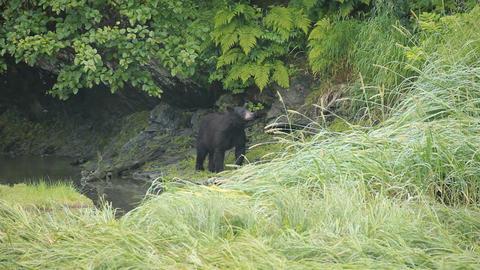 Bear Alaska forest river P HD 8683 Live Action