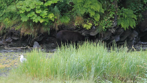 Bear hunting in salmon river P HD 7566 Live Action