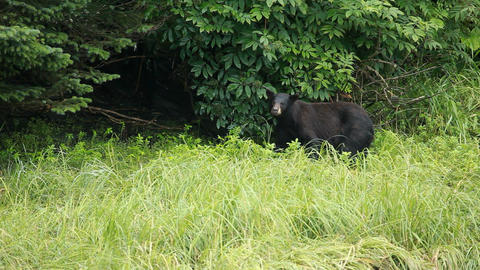 Bear in forest Alaska P HD 8689 Live Action