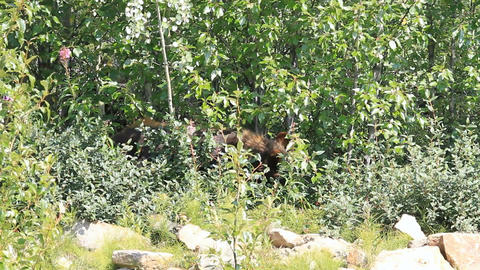 Bear in forest P HD 7572 Live Action