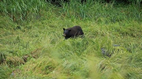 Bear walking along forest P HD 8678 Footage