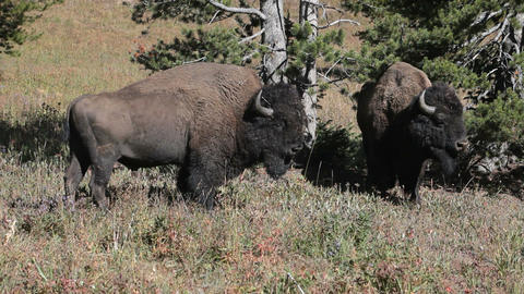 Bison buffalo two in forest P HD 2436 Footage
