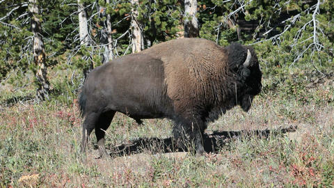 Bison buffalo standing in Yellowstone park P HD 2423 Footage