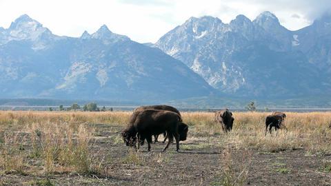 Bison grazing Grand Teton P HD 3084 Footage