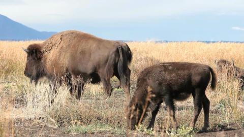 Bison grazing close P HD 3088 Footage