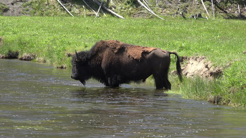 Bison bull in river at Yellowstone National Park 4K Footage