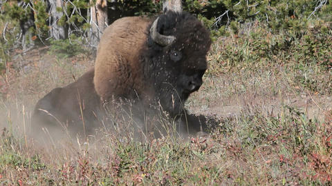 Bison rolling in dirt in Yellowstone National Park P HD 2422 Footage