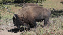 Bison two in Yellowstone National Park Wyoming P HD 2442 Stock Video Footage