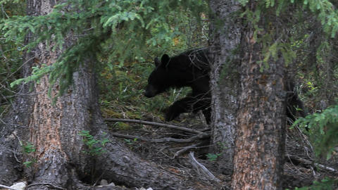 Black bear on mountain P HD 1318 Live Action