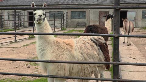 Llamas in paddock Footage