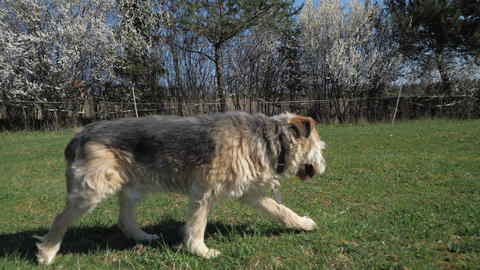 Half blind medium-sized lame dog with bushy fur walk on the grass Live Action