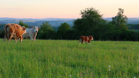Small brown calf with white and brown cow on meadow pasture. Czech republic Live Action