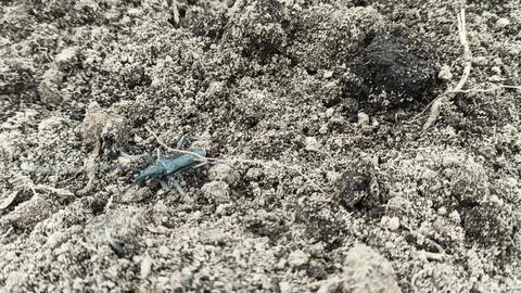 capricorn beetle creeping on soil. Big whiskered bug. Cerambyx cerdo Live Action