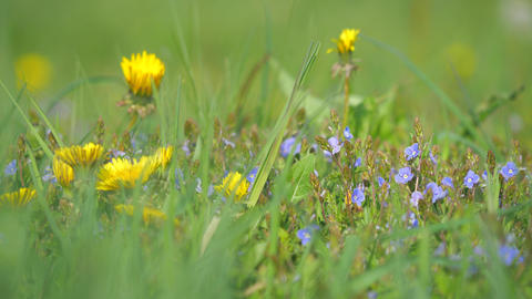 Flower dandelion between grass stalks and blue flowers out of focus. Detail into flowering meadow Live Action