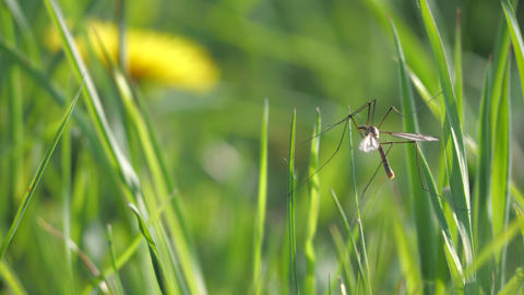 Crane Fly flying away from grass stalk. European Large Crane Fly, Tipula maxima, in summer Live Action