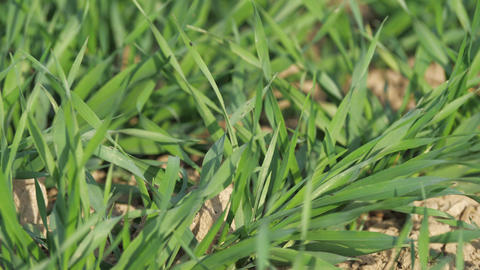 Young wheat plants, seedlings growing on a field. Agricultural field on which grow immature young Live Action