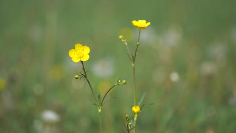Summer blooming yellow Buttercaup, Ranunculus repens, in grass, golden meadow with abstract focus. Live Action