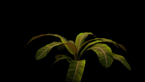 Rotation of a green plant isolated on a black background HD 1080 Live Action