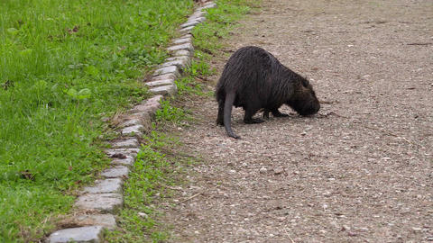 Wild nutria,water rat on the path Footage