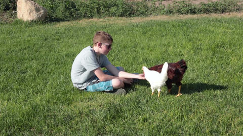 Boy hand feeds two chickens P HD 2470 Footage