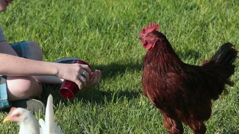 Boy feeding chickens on grass lawn P HD 2471 Footage