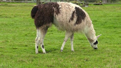Llama eating grass Footage
