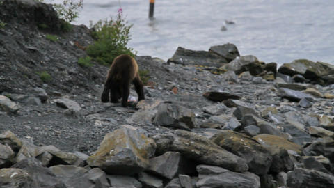 Brown Bear on shore walking P HD 7466 Live Action