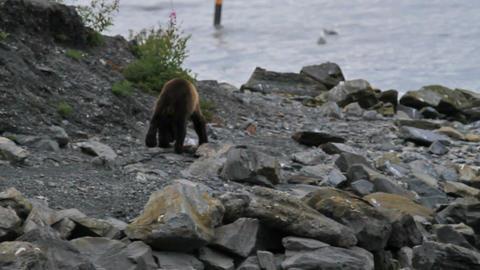 Brown Bear on shore walking P HD 7466 Footage